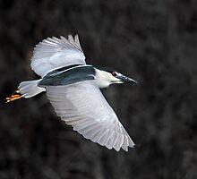 Black Crowned Night Heron In Flight by Gary Fairhead