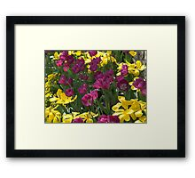 Purple and yellow tulips Framed Print