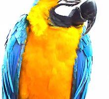 Norwegian Blue Parrot by Steve