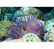 Purple Anenome with Yellow Fish Photographic Print