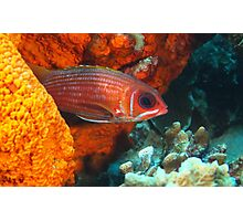 Squirrel fish Hiding in a sponge Photographic Print