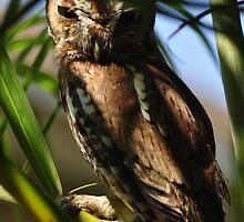 Eastern Screech Owl, As Is by Kim McClain Gregal