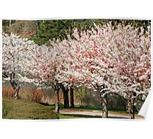 High Park Cherry Blossoms Poster