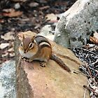 """Puffy Cheeks"" Chipmunk, Pennsylvania by Sandy O'Toole"