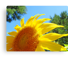 Contemporary art Yellow Sunflower print Photography Canvas Print
