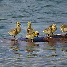Goslings on Lake Coeur d'Alene by Kate Farkas