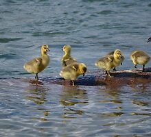 Goslings on Lake Coeur d'Alene by Kate Farkas