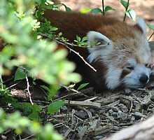 Red Panda by April May Maple