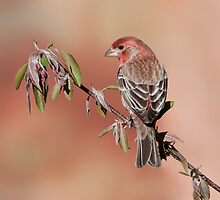 House Finch by (Tallow) Dave  Van de Laar