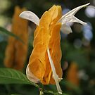 Shrimp Plant by Tracey Hampton