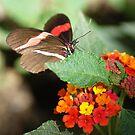 Butterfly album, butterfly Nr.3 by loiteke