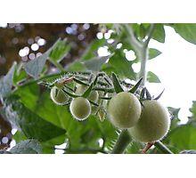 Pending Tomatoes Photographic Print