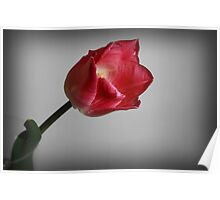 Tulip from the Garden Poster