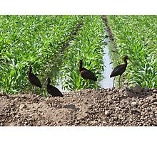 White-faced Ibis's Photographic Print