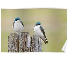 Double trouble Tree Swallows. Poster