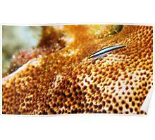 Coral Fish  Poster
