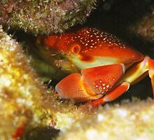 Coral Crab by Rich Synowiec