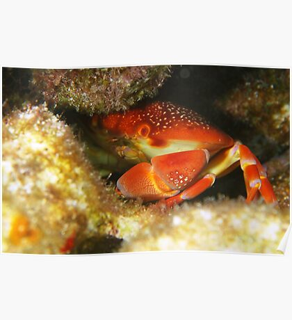 Coral Crab Poster