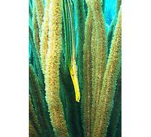 Hiding Trumpet Fish Photographic Print