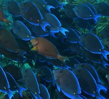 Surgeon Fish Schooling by Rich Synowiec