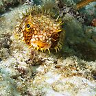 Burrfish Puffer by Rich Synowiec