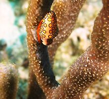 Flamingo Tongue Mollusk by Rich Synowiec