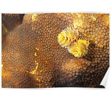 Yellow Christmas Tree Worm in Coral Poster