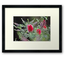 Bottlebrush, flower of beauty Framed Print
