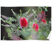 Bottlebrush, flower of beauty Poster