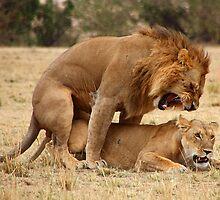 Domestic Violence. Lions Copulating, Maasai Mara, Kenya  by Carole-Anne