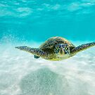 Turtle swimming over white sand by Flux Photography