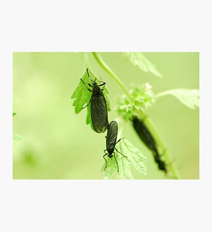 mating time Photographic Print