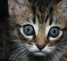 playful kitten in an arm chair by Tammy Kuiler