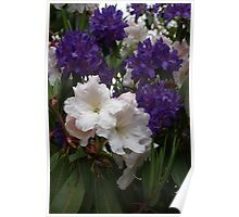 Purple and White Rhodies Poster