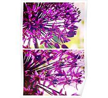 Spring Allium Poster
