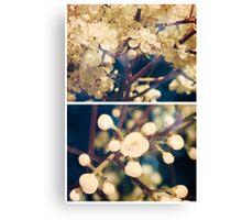 Spring - Viburnum Grandiflora Canvas Print
