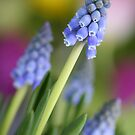 Grape hyacinth flowers (Muscari botryoides)  by Pics4merch