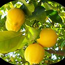 Juicy lemons on a tree by daffodil