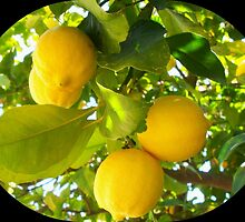 Juicy lemons on a tree by daffodil