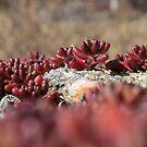 Red Stonecrops by Ritva Ikonen