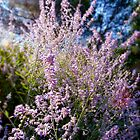 Provencal Lavender by Andrew Briffett