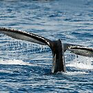 Whale of a Tail by David Friederich