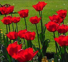 Red Tulips by wiggyofipswich