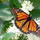 Butterfly album, butterfly Nr. 4 by loiteke