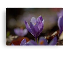 flower pedals in spring Canvas Print