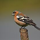 The Male Chaffinch by Lawson  McCulloch