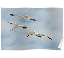Let's join hands! Gannets, Saltee Island, County Wexford, Ireland Poster