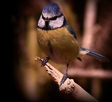 The Blue Tit by snapdecisions