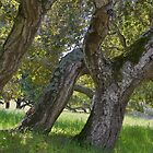 Three oaks on a hillside- Toro Park, Monterey by David Chesluk