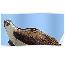 Mamma osprey up close Poster